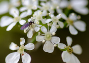 19th Apr 2014 - Cow parsley flowers and small fly - 19-04