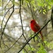 Colonial Cardinal by khawbecker