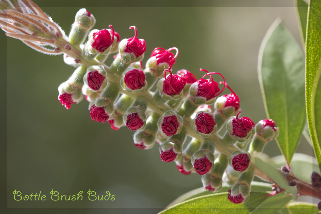 Bottle Brush Buds by jamibann
