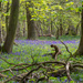 2014 04 19 - Blue bells by pixiemac