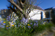 20th Apr 2014 - Dandelions and bluebells