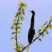 Little Blue Heron? by cjwhite