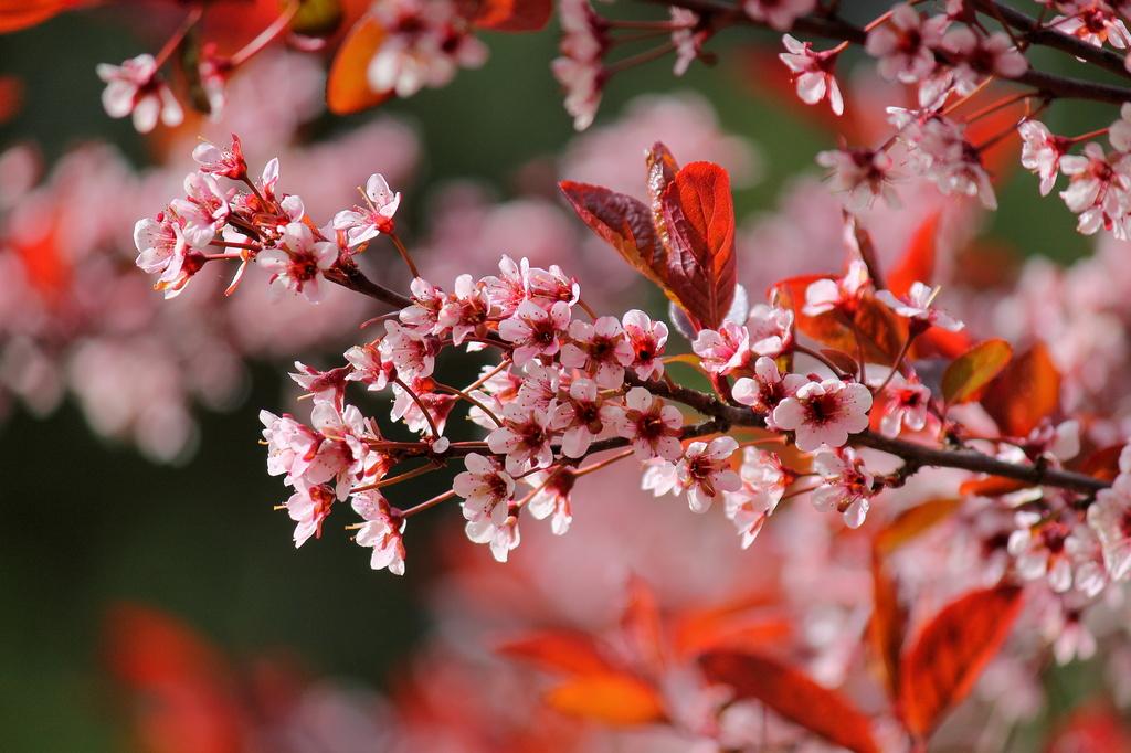 Flowering Plum  by jankoos
