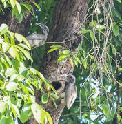 19th Apr 2014 - Indian grey hornbill