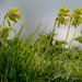 Cowslips by richardcreese