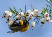 21st Apr 2014 - Laden with pollen - 21-04