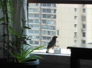 20th Apr 2014 - Myna sings for me