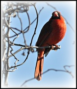 22nd Apr 2014 - This cardinal is feeling handsome!!