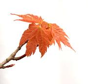 22nd Apr 2014 - maple leaf