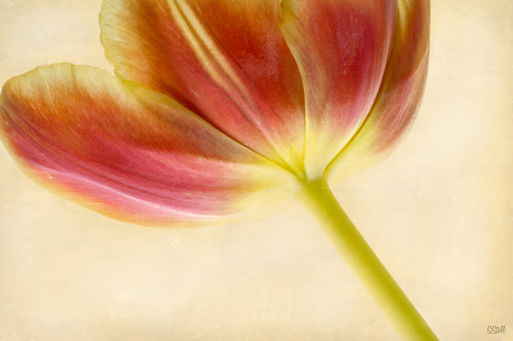 Tulip by bella_ss