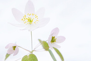 23rd Apr 2014 - anemone on white