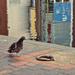 Pigeon Walk by gailmmeek