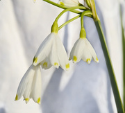 24th Apr 2014 - white on white bells