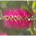 Bottle Brush Flower by jamibann
