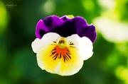 25th Apr 2014 - Viola tricolor