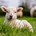 Lamb - 25-04 by barrowlane