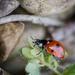 ladybird by jantan