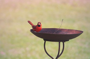 25th Apr 2014 - Mr. Cardinal