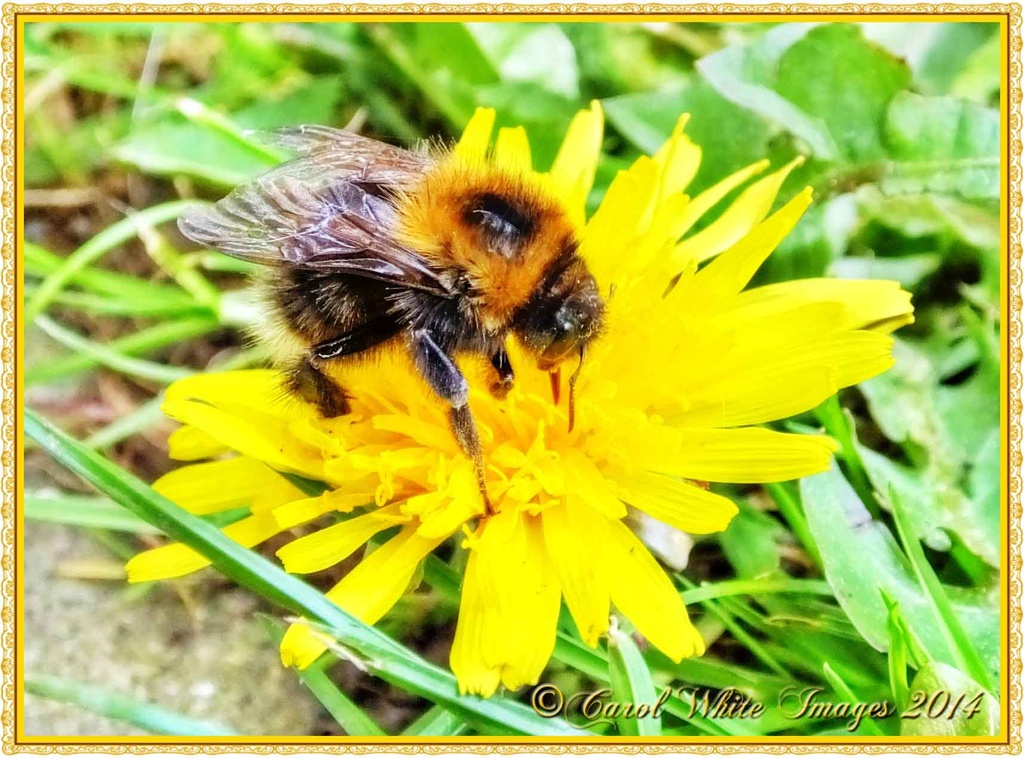 Bumble Bee by carolmw