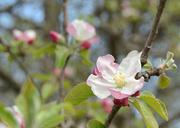 26th Apr 2014 - apple blossoms