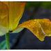Tulip petals with raindrops by ivan