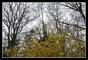 27th Apr 2014 - Gray, blah day. Except the forsythia are out now.