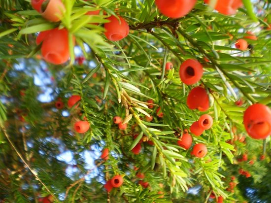 The Yew Tree-Taxus baccata by snowy