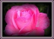 28th Apr 2014 - rose