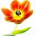 Dancing Tulip by bella_ss