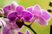 28th Apr 2014 - Orchid