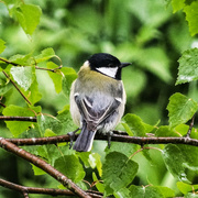 28th Apr 2014 - Great tit on a wet day - 28-04