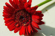 29th Apr 2014 - Red flower with drops
