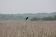 30th Apr 2014 - Red Winged Blackbird