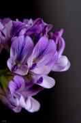 30th Apr 2014 - Purple
