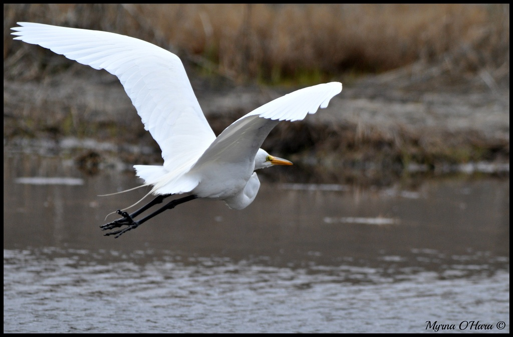 In flight Great Egret by sailingmusic