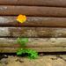 Wild poppy by newbank