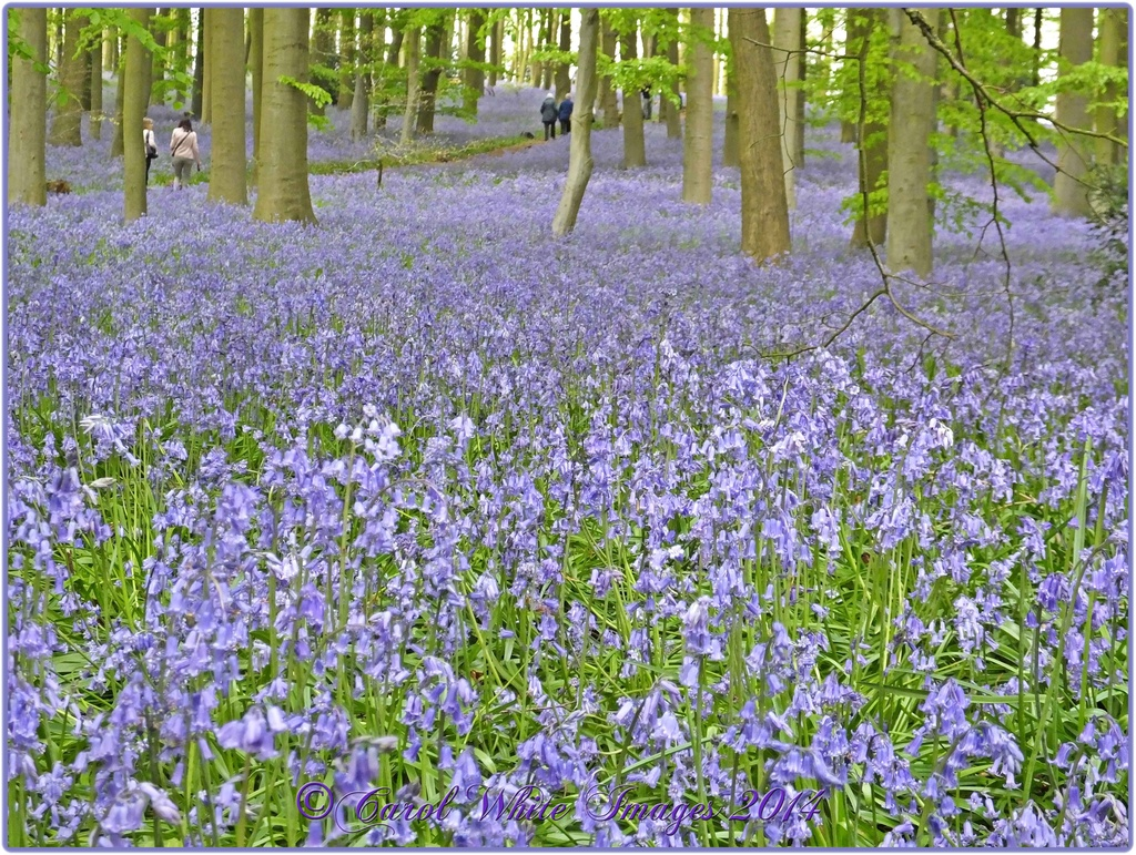 Bluebell Heaven by carolmw