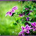 Clematis by vernabeth