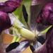 Tulip by bizziebeeme