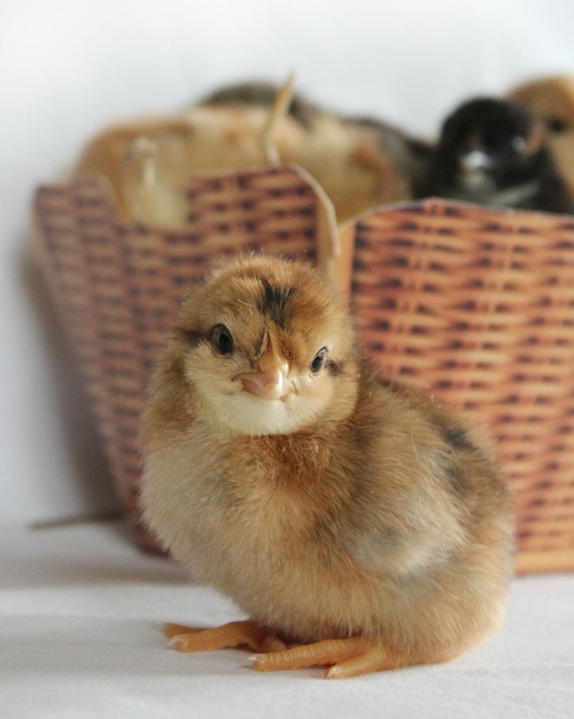 Chicken Nugget by judithg