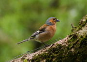 2nd May 2014 - Common chaffinch - 2-05