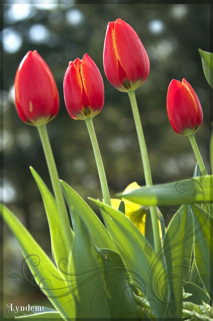 Tulip Quad by lyndemc