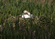3rd May 2014 - Sitting swan - 3-05