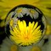 Marbelcam Dandelion 2 by jocasta
