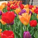 tulip time by mjmaven