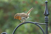 4th May 2014 - 2014 05 04 - Robin