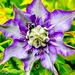 Clematis by tonygig