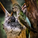 Mother Hummingbird Feeding Baby In Nest by jgpittenger