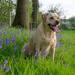 Emma in the bluebells - 4-05 by barrowlane