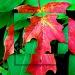 Mapl Leaf by bruni
